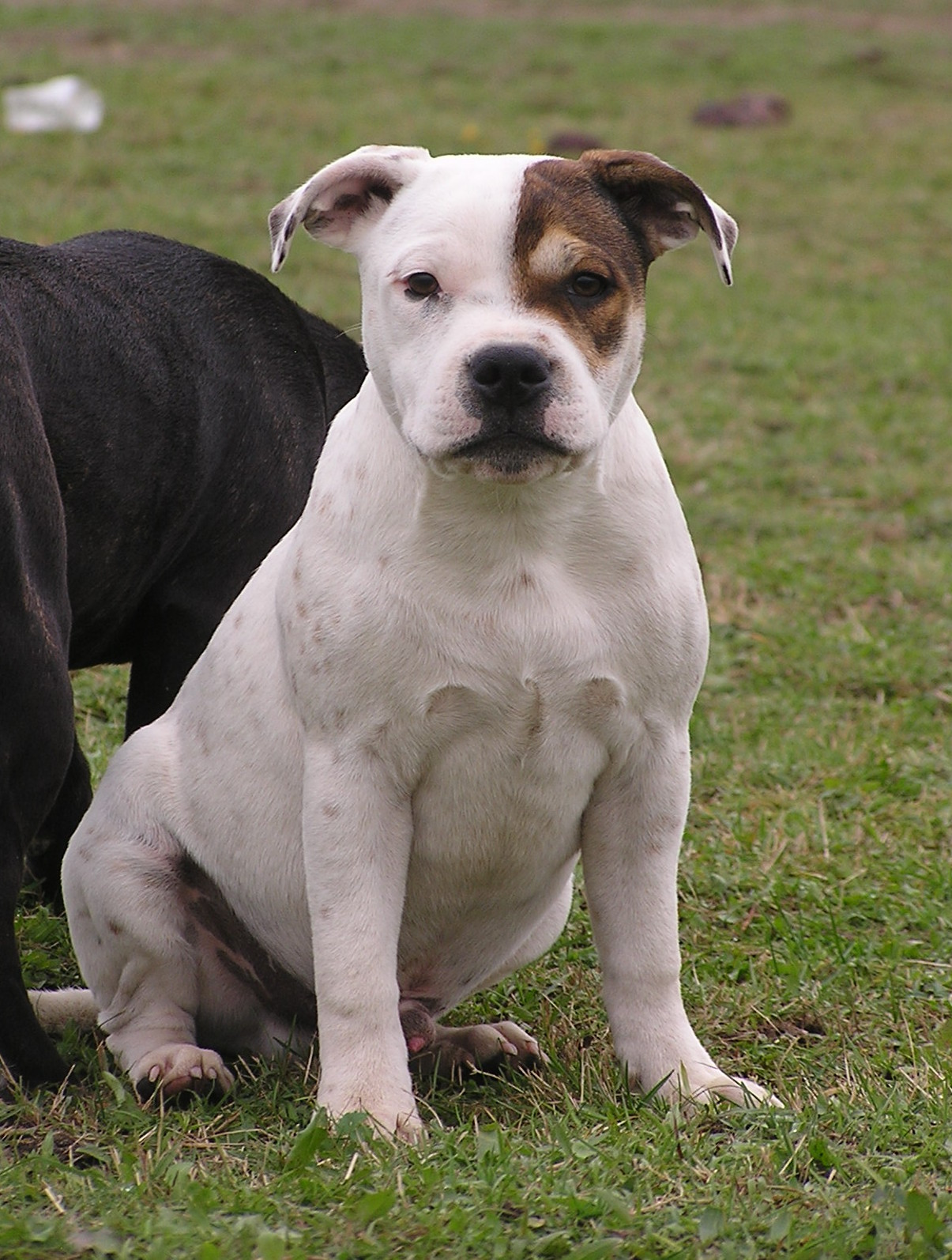 Staffordshire Bull Terrier FCI Staffik,pieski ZKwP