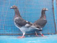 Pocztowe Staropolskie gołąb,gołębie