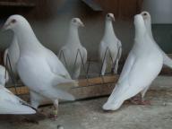 Młode białe gołębie pocztowe, zamówienia III lęg