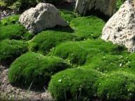 karmnik ościsty zamiast trawnika - Byliny Farm