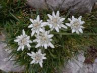 Szarotka alpejska - doniczka 9 cm