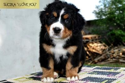Bernenski Pies Pasterski Szczeniaki Bernenczyki 6835092701 Oficjalne Archiwum Allegro