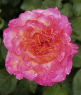Rosa 'Gorgeous National Parks' - Róża bukietowa XL