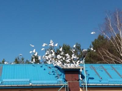gołąb, gołębie lot 150szt