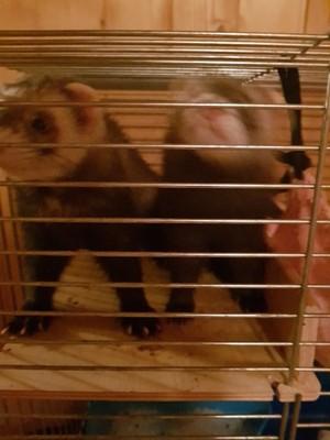 2 młode fretki