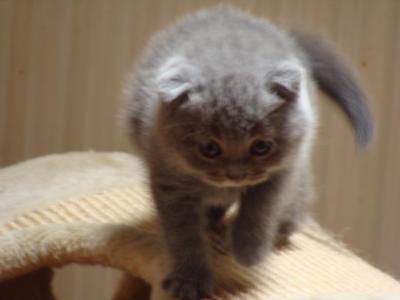 Kot Brytyjski Szkocki Koty Brytyjskie Szkockie 5749941727