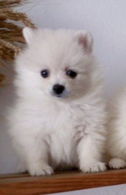 Pomeranian Boo Szpic Miniaturowy Paszport Chip 6833448832 Oficjalne Archiwum Allegro