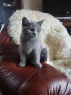 Kot Brytyjski Krótkowłosy, kocięta