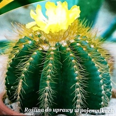 Echinokaktus Gruzona Fotel Teściowej Kaktusy Lg