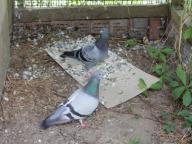 Gołębie pocztowe para - uratuj je przed strasznym