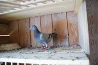 młode gołębie pocztowe mistrza