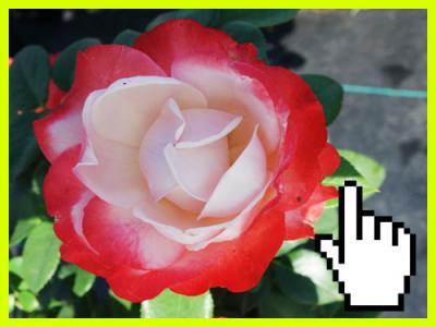 2d357ff3f05d61 Róża dwukolorow j. nostalgie poj. 4L DUŻA sadzonka - 5597320432 ...