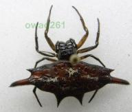 Gasteracantha versicolor pająk Indonezja, Jawa2