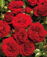 Rosa 'Farruca Courtyard' - Róża pnąca CZERWONA XL