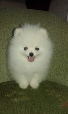 Pomeranian Szpic Miniaturowy Boo 6924271024 Oficjalne Archiwum Allegro