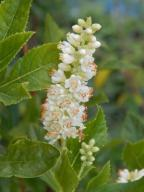 Orszelina olcholistna 'Clea' 2l 50-60cm miododajna