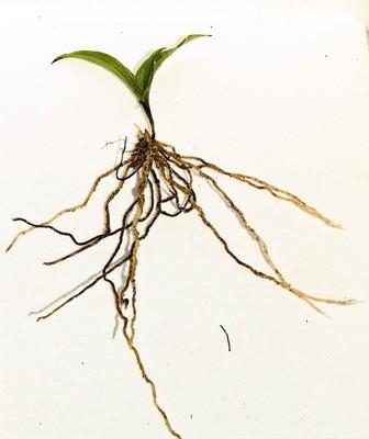 Obuwik Cypripedium flavum 2 letnie kłącza