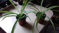 Zielistki zielone i zielono-białe  - duże sadzonki