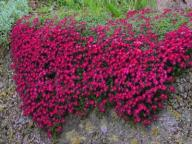 Żagwin ogrodowy Audrey Red - purpurowe kaskady