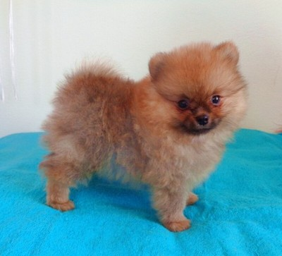 Szpic Miniaturowy Pomeranian Szczenieta 6862370527 Oficjalne Archiwum Allegro