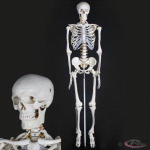 Szkielet Ludzki Model Czlowieka Plakat 400502 6575188490 Oficjalne Archiwum Allegro