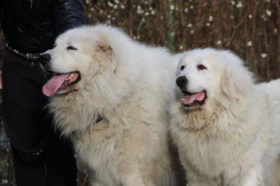 Pirenejski Pies Gorski Suczka Z Rodowodem Fci 5687427379 Oficjalne Archiwum Allegro
