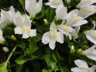 Mazus rozłogowy biały albus - doniczka 9 cm