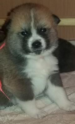 Zaktualizowano Akita Inu szczenięta japoński pies przyjaciel - 6646979514 KN02