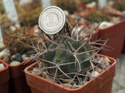 Acanthocalycium Thionanthum V Minutum Wr 772 6271856010