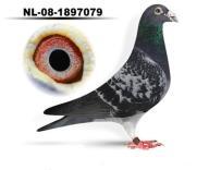 Gołębie pocztowe - rozpłód !