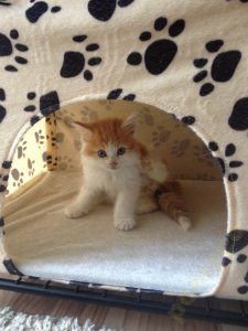 Kolorowe Kocięta Syberyjskie Koty Syberyjczyki 6432394981