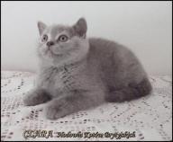 Koty,kocięta Brytyjskie,Brytyjczyk