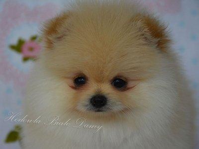 Szpic Miniaturowy Pomeranian Piesek Piekny Boo 6339510286 Oficjalne Archiwum Allegro
