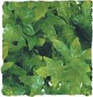 ZOOMED Roślina dekoracyjna Congo Ivy Large