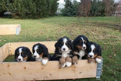 Bernenski Pies Pasterski Piekne Szczenieta Rodowod 6622013694 Oficjalne Archiwum Allegro