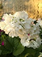 Pierwiosnek Pale Moon Primula Sieboldii nasiona