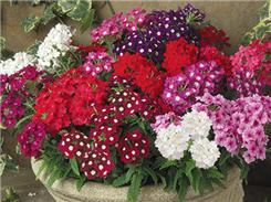 Werbena Zwisająca Piękne Kwiaty Nasiona Balkony B