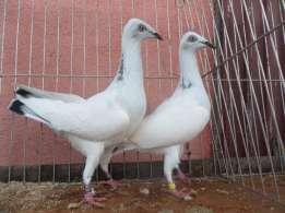 Gołębie jasne srebrniak srebrniaki para parzysta
