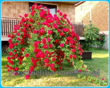 Róże Na Pniu Najładniejsze Sadzonki Z Mojego Pola 6465585287 Oficjalne Archiwum Allegro