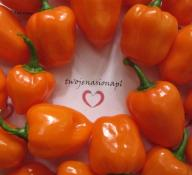 Habanero Orange chili chilli nasiona papryka!