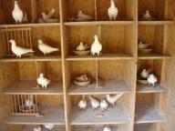 Białe lotnicze, młode gołębie pocztowe z hodowli