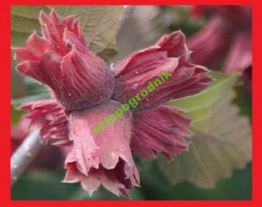 czerwona leszczyna SYRENA czerwonolistna orzech