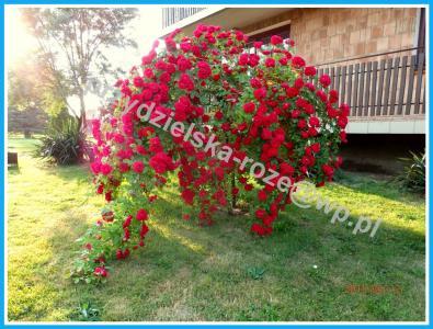 Róże Pienne Najładniejsze Sadzonki Z Mojego Pola 5667765459 Oficjalne Archiwum Allegro