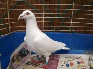 Gołębie pocztowe białe na jasnym oku glazer