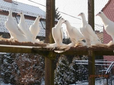 Wspaniały Gołębie bociany-dolnosląskie łapciate - 6673346901 - oficjalne KY88