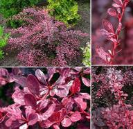 Berberis thunbergii 'Rose Glow' - Berberys thunb.