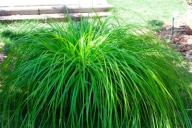 Carex Evergreen__SADDZONKA__ TRAWA OZDOBNA