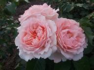 Róża 'Clair Renaissance' - Róża parkowa RÓŻOWA XL!