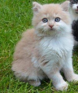 Kocięta Brytyjskie Długowłose Kot Brytyjski 6287228565