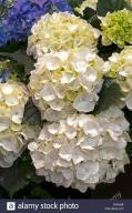 Hydrangea 'White Delight' - Hortensja ogrodowa